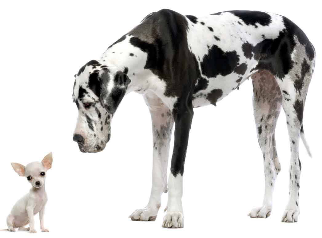 Il canone non è un cane gigante